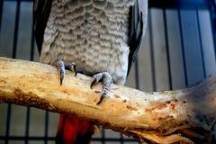 Loro del gris africano que se sienta en rama de árbol imagen de archivo libre de regalías