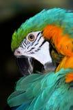 Loro del Macaw Imagenes de archivo