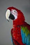 Loro del Macaw Fotografía de archivo libre de regalías