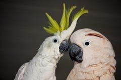 Loro del Macaw Foto de archivo libre de regalías
