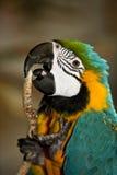 Loro del Macaw Imágenes de archivo libres de regalías