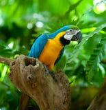Loro del Macaw Fotos de archivo libres de regalías