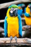Loro del Macaw Imagen de archivo