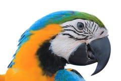 Loro del Macaw aislado en el fondo blanco Imagen de archivo