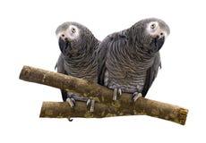 Loro del Macaw aislado en el fondo blanco Foto de archivo libre de regalías