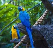 Loro del macaw de dos azules en árbol fotos de archivo