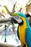Loro del Macaw en el fondo blanco Imagenes de archivo
