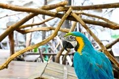 Loro del Macaw en el fondo blanco Imágenes de archivo libres de regalías