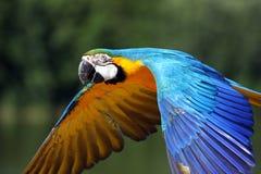 Loro del Macaw en vuelo Imagenes de archivo