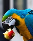 Loro del Macaw que come la manzana Imágenes de archivo libres de regalías