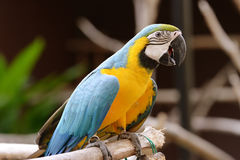 Loro del pájaro fotografía de archivo libre de regalías