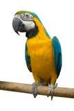 Loro del pájaro Fotografía de archivo