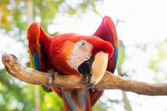 Loro del pájaro de Scarlett Macaw en la montaña del Macaw, Copan Ruinas, Honduras, America Central fotos de archivo libres de regalías