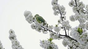 Loro en árbol floreciente almacen de video
