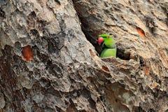 Loro en el agujero de la jerarquía Loro verde que se sienta en tronco de árbol con el agujero de la jerarquía Periquito Rose-anil Imagenes de archivo