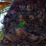 Loro en la palmera, Tenerife, islas Canarias, España - imagen del monachus de Myiopsitta del periquito del monje foto de archivo