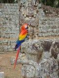 Loro en ruinas mayas Imagen de archivo