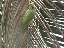Loro en una hoja seca del árbol de coco Imagenes de archivo