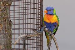 Loro en una jaula Imagen de archivo libre de regalías
