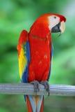 Loro - Macaw azul rojo Fotografía de archivo