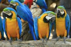 Loro - Macaw Azul-y-Amarillo Foto de archivo libre de regalías