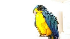 Loro multicolor del macaw en un fondo blanco metrajes