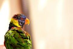 Loro, pájaro de Lorikeet del arco iris Imágenes de archivo libres de regalías