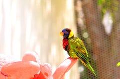 Loro, pájaro de Lorikeet del arco iris en la Florida Fotografía de archivo