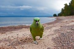 Loro por la playa Fotografía de archivo