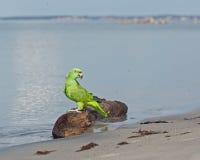 Loro por la playa Imagenes de archivo