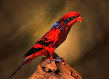 Loro rojo Imagen de archivo libre de regalías