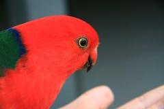 Loro rojo Foto de archivo libre de regalías