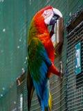 Loro rojo del ara en una jaula Foto de archivo