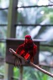 Loro rojo en parque del pájaro en Kuala Lumpur, Malasia, Foto de archivo