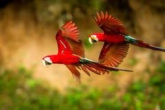 Loro rojo en vuelo Vuelo del Macaw, vegetación verde en fondo Macaw rojo y verde en bosque tropical imagen de archivo libre de regalías