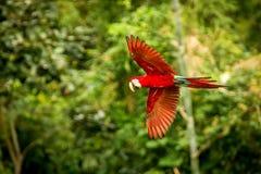 Loro rojo en vuelo Vuelo del Macaw, vegetación verde en fondo Macaw rojo y verde en bosque tropical imagenes de archivo