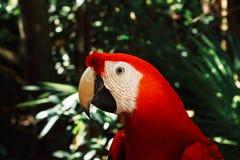 Loro rojo hermoso en árbol verde en Macaw tropical del escarlata del bosque Ara Macao fotos de archivo libres de regalías