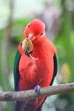 Loro rojo que come una tuerca Fotografía de archivo libre de regalías