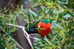 Loro rojo que se sienta en una rama de un árbol rodeado por el pasto verde Fotos de archivo libres de regalías