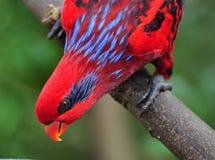 Loro rojo y azul Foto de archivo