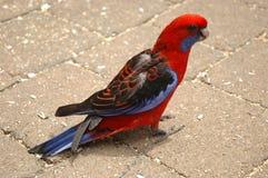 Loro rojo y azul. Vista lateral fotos de archivo