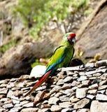 Loro del Macaw en un fondo de piedras Foto de archivo