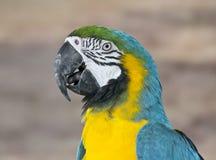 Loro suramericano del Macaw amarillo azul Imagen de archivo