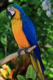 Loro tropical azul y amarillo Fotografía de archivo