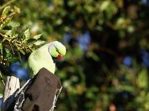 Loro verde Imagen de archivo libre de regalías