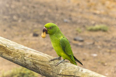 Loro verde de Fuerteventura Fotos de archivo libres de regalías