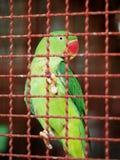 Loro verde en jaula Fotos de archivo libres de regalías