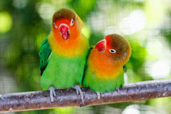Loro verde hermoso de la cotorra rizada Fotografía de archivo