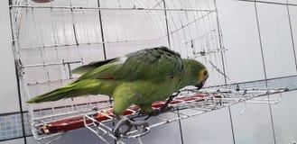 Loro verde lindo que se sienta en la jaula que parece feliz con el foco suave imagenes de archivo