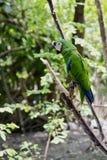 Loro verde Pájaro raro salvaje en una rama en el hábitat natural fotografía de archivo